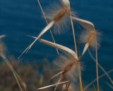 Lygeum spartum, Esparto grass