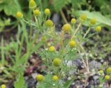 Matricaria discoidea, Wild chamomile