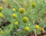 Matricaria discoidea, Strahlenlose Kamille