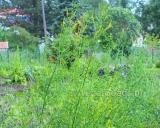 Melilotus officinalis, Yellow sweet clover