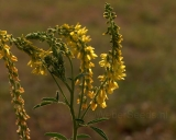 Melilotus officinalis, Yellow sweet clover
