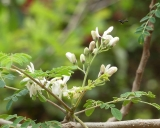 Moringa oleifera, Meerrettichbaum