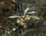 Olea europaea var. sylvestris, Wild olive
