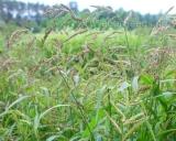Echinochloa crus-galli, Cockspur