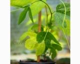 Passiflora incarnata, Maypop plant