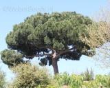 Pinus pinea, Pinie, Schirm-Kiefer