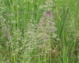 Poa pratensis, Blue grass