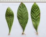 Psychotria viridis, Chacruna, fresh leaves