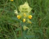 Rhinanthus alectorolophus, Greater yellow rattle