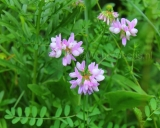 Securigera varia, Crownvetch