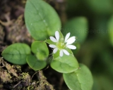 Stellaria media, Common chickweed