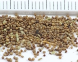 Thymbra capitata, Conehead thyme