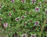 Thymus pulegioides, Grote tijm