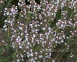 Thymus vulgaris, Common thyme