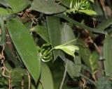 Vanilla planifolia, Vanille-orchidee